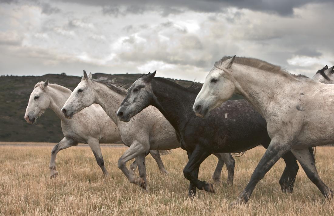 Chilean Horses